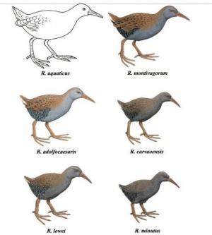 Rallus extinctos