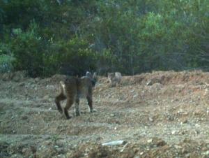Primeira cria de Lince Ibérico na natureza confirmada em Portugal