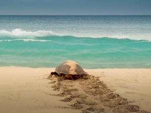 Medidas de conservação de tartarugas marinhas em Cabo Verde não são suficientes para travar a sua captura e consumo ilegal
