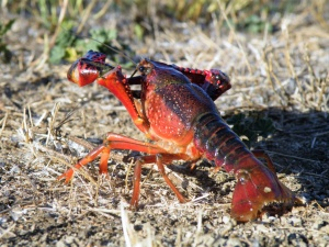 Heat waves can change the impacts of the red swamp crayfish, one of the world's worst invasive species