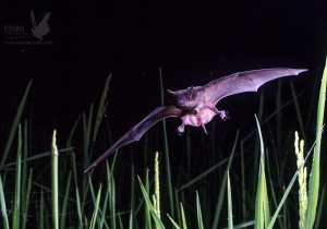 Morcegos que consomem pragas agrícolas podem ajudar a salvar as florestas tropicais