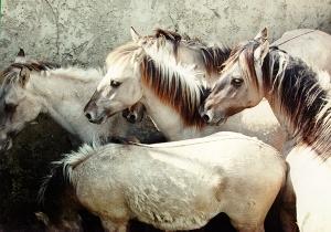 Novo estudo acompanha as transformações do genoma do cavalo desde a domesticação