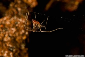 Species Conservation Profile of a Critically Endangered endemic spider for the Azores