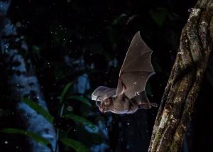 Na Amazónia existem mais de 160 espécies de morcegos. E o Guia de Campo para os Morcegos da Amazónia, hoje publicado, permite conhecê-las todas.
