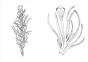 Estudo de revisão acaba por revelar uma nova espécie do musgo Amphidium para a ciência