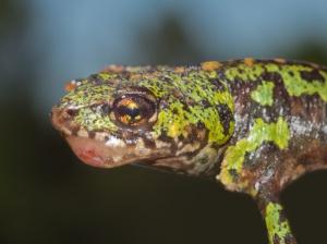 Virus expanding range threatening amphibian populations