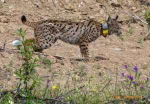 Movetech Telemetry entra numa nova fase de desenvolvimento de tecnologia de ponta para monitorização da vida selvagem