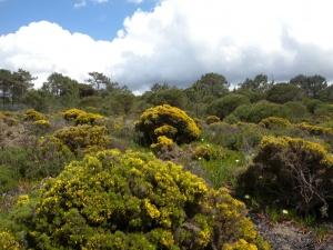 Tojos: arbustos espinhosos com uma história evolutiva surpreendente