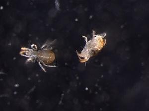 O ácaro-aranha, praga mundial de culturas agrícolas, pode ser vencido por bactérias