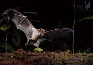 Recuperação da floresta tropical da Amazónia resgata populações de morcegos da quase-extinção