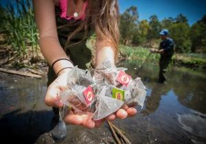 Projeto internacional estuda a decomposição das folhas no solo usando… saquinhos de chá