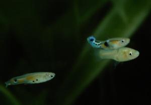 Novo estudo explora como os machos de peixes guppy adaptam o seu comportamento sexual num ambiente competitivo