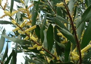 Porquê tantas flores? Novo artigo por investigadoras do cE3c avalia as estratégias de polinização da acácia, espécie invasora em Portugal