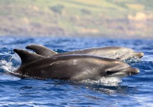 Cientistas e empresas turísticas colaboram para estudar a distribuição geográfica de cetáceos nos Açores