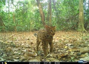 Padrões de atividade de pequenos felinos na Índia