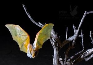 Pequenas mochilas de localização GPS permitem estudar a vida dos morcegos do deserto