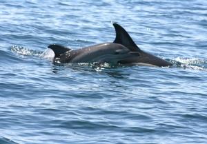 Investigação portuguesa sobre mamíferos marinhos em debate em Lisboa a 15 de novembro