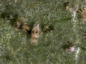 Custos e benefícios na reprodução sexual do ácaro-aranha