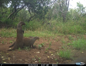 Modelos de gestão e conservação da vida selvagem na África do Sul não protegem os carnívoros de forma igual