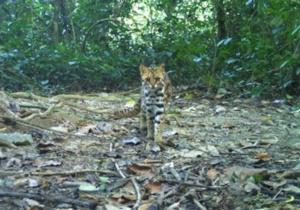 Pequenos felinos selvagens não estão bem cobertos pelas áreas protegidas no Subcontinente Indiano